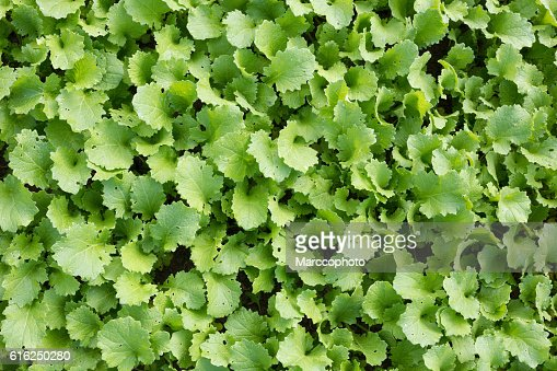Green leaves radish plantation. Directly above view. : Foto de stock