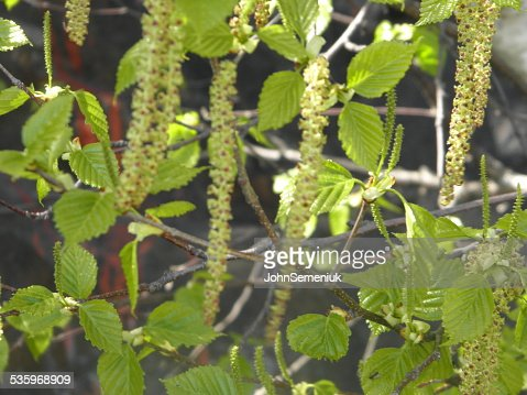 green leaves & seed string pods. : Stock Photo