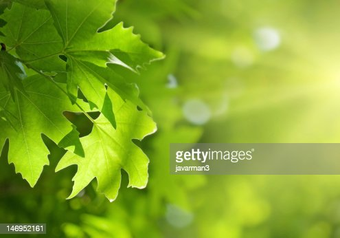 green leaves, shallow focus : Stock Photo