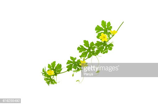 Green leaves with yellow flower isolated on white background. : Foto de stock