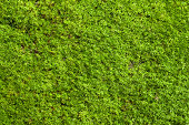 Green lichen background on the rock