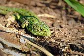 Bright green lizard of wood debris near his nest.