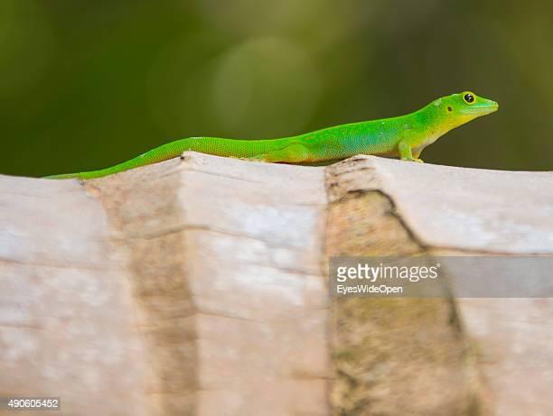 Green Lizard on a palmtree on September 22 2015 in La Passe La Digue Seychelles