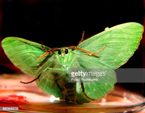 Green luna moth : Stock Photo