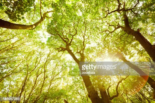 Green Lush Forest and Sun Throught the Leaves