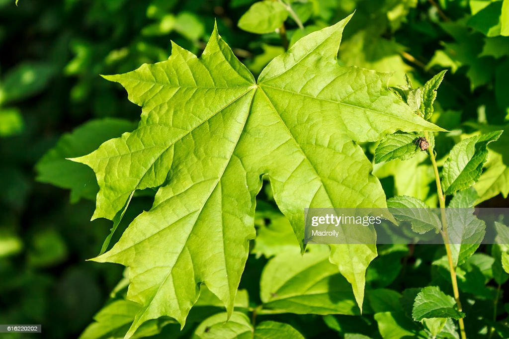 Green maple leaf : Stock Photo