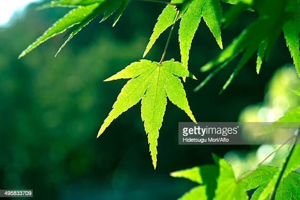 Green maple leaves, Japan