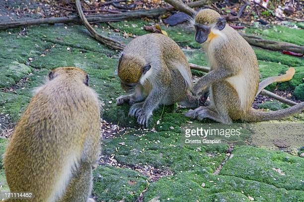 Green Monkeys, Chlorocebus sabaeus
