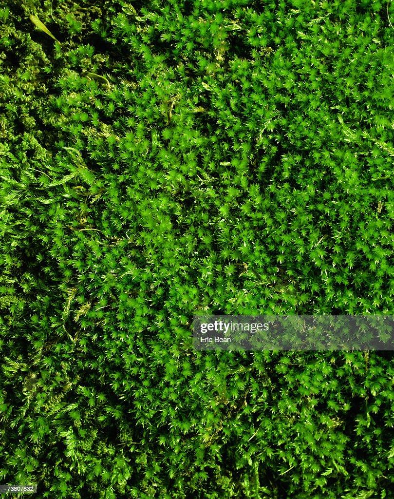 Green moss, close-up : Stock Photo