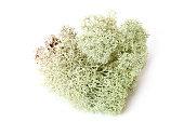 Green moss (Cladonia rangiferina) on white bakground
