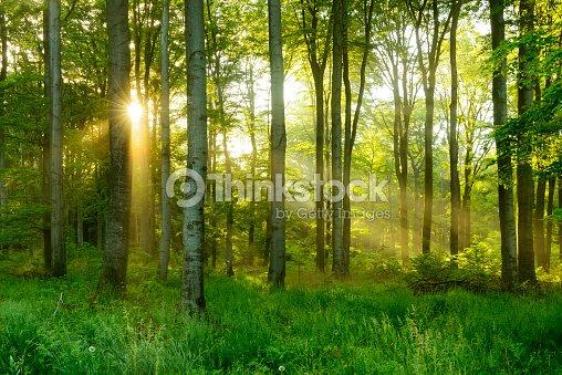 Árbol de haya Natural verde iluminado Sunbeams a través del bosque de niebla : Foto de stock