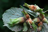What is hazelnut? Hazelnut Birchgiller family, which grows heavily in the Black Sea region in our country, is a member of the likes of temperate climates. The fruit of hazelnut tree is in a hard shell