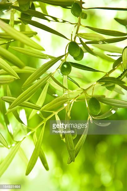 olives vertes sur un arbre