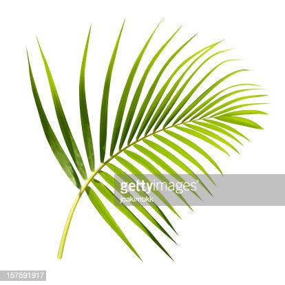 Palm leaf with clipping path