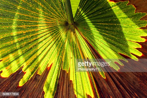 Green palm leaf with shadows at a tropical garden. : Stock Photo