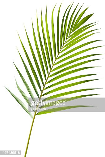 Green palm tree leaf isolated on white with clipping path