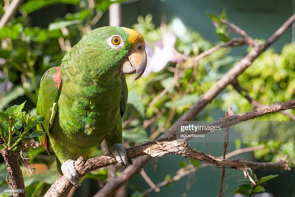Green parrot on a branch : Stock Photo