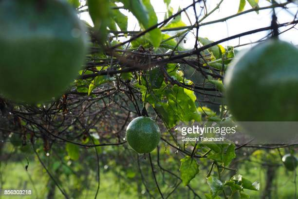Green passion fruits growing on the vine at a farm
