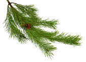 green pine branch with cones isolated on white background without a shadow. Christmas. New Year. Nature in details.