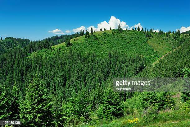 green pine forest covered mountain