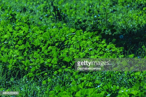 Green plant in sun : Stock Photo
