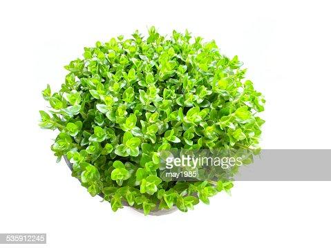 Planta verde aislado sobre un fondo blanco : Foto de stock