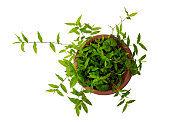 Close-up of upward growth green plants in the flowerpot, Isolated on white background. View directly above image