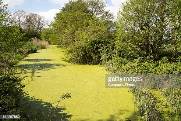 Green pond weed algae growing on stream surface River Tang Boyton Suffolk England UK