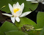 Closeup of a green pool frog sitting on a leaf of a water lily