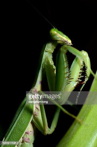 Louva-a-deus na folha verde : Foto de stock
