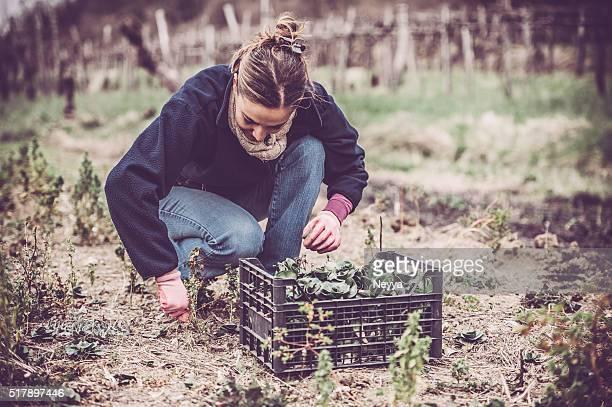 Green Radicchio Harvesting