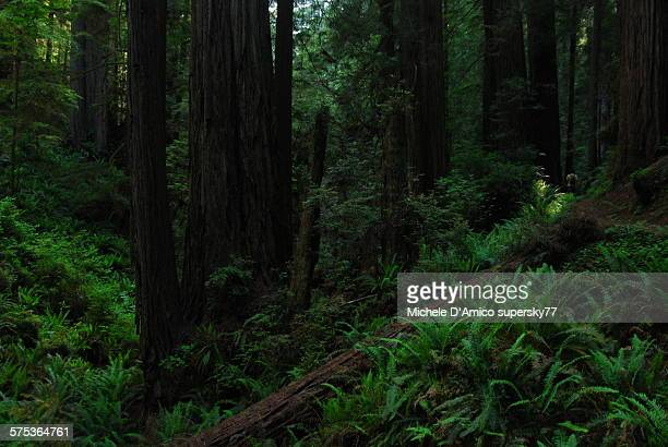 Green Redwood Forest