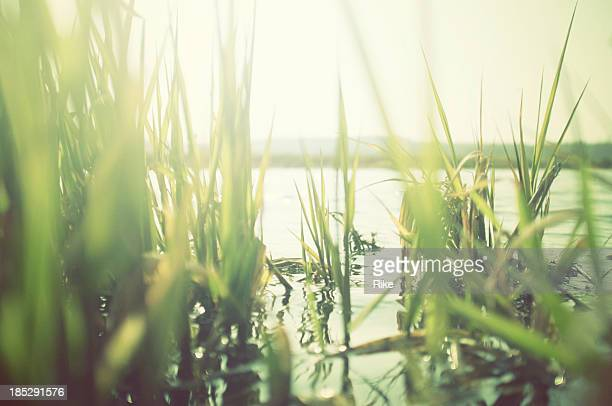 Green reeds at the water with sun shining