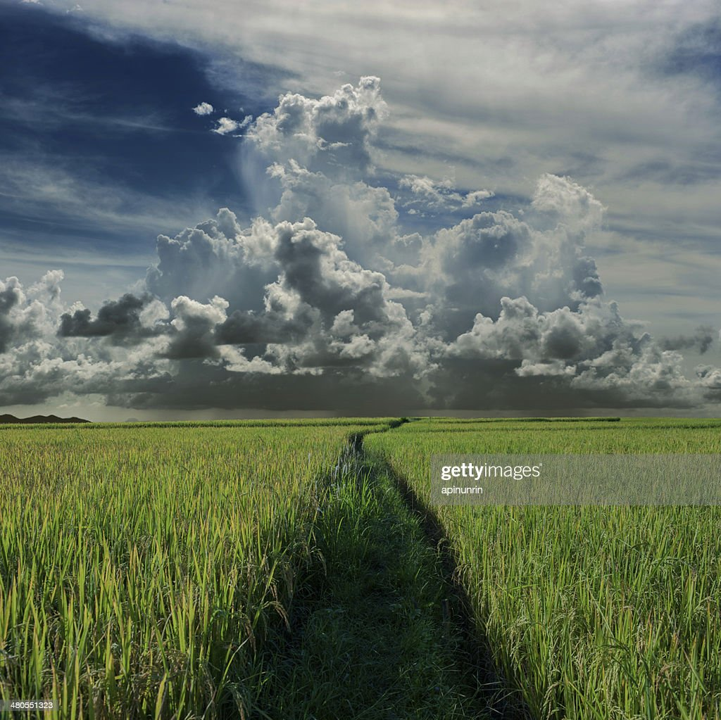 Green rice field and rainclouds : Stock Photo