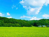 Green rice fields in Japan at summer.