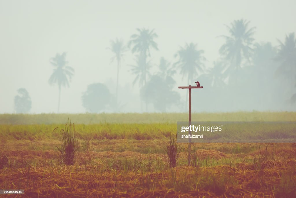 Green rice fields in Sungai Besar - well known as one of the major rice supplier in Malaysia : Stock Photo
