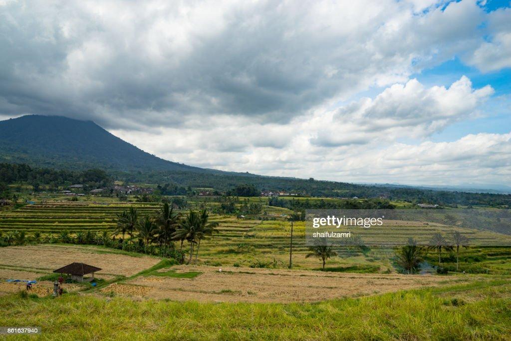 Green rice fields on Bali island near Ubud, Indonesia. : Stock Photo