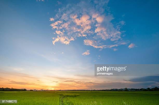Green rice fild mit Abend-Himmel