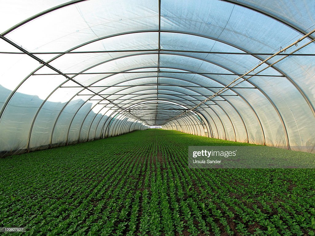 Green Rows in Greenhouse planted for Health