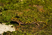 A close up of an endangered Green Salamander in the Blue Ridge Mountains.