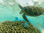 Green Sea turtle entangled on a discarded fishing net