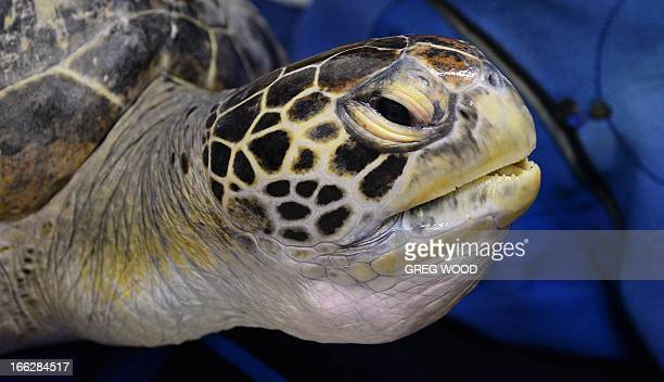 Green Sea Turtle 'Buoy' is fitted with a tag which will provide location updates when he is released next week following a 20 month stint in...
