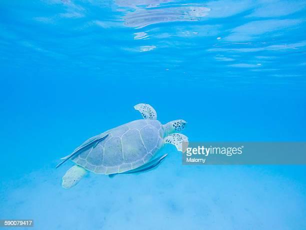 A green sea turtle, Chelonia mynas, Caribbean