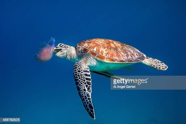 Green Sea Turtle eating Jellyfish