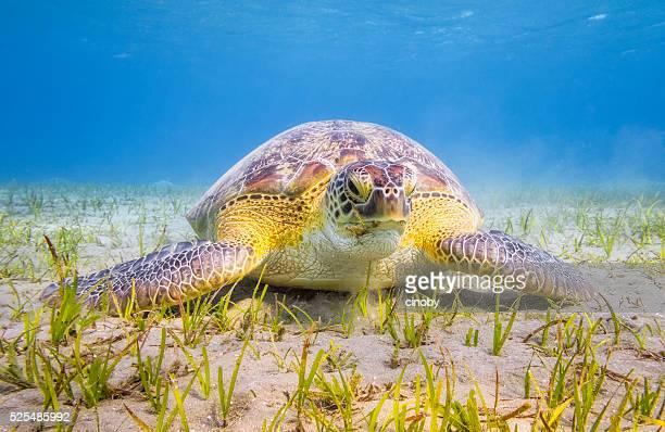 Green Sea Turtle grazing on seagrass bed near Marsa Alam