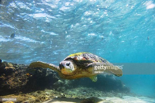 Green sea turtle (Chelonia mydas), Hikkaduwa.