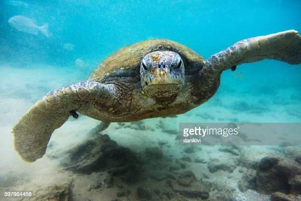 Green sea turtle (Chelonia mydas), Hikkaduwa
