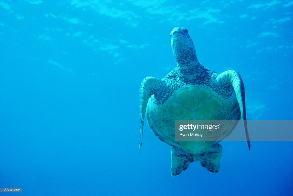 Green Sea Turtle, Maui, Hawaii : Stock Photo