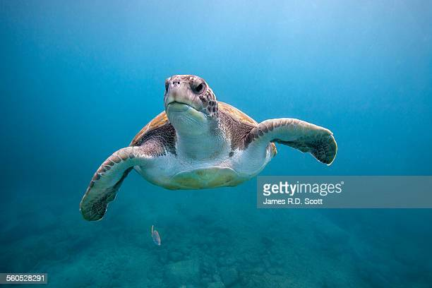 Green sea turtle off Canary Islands