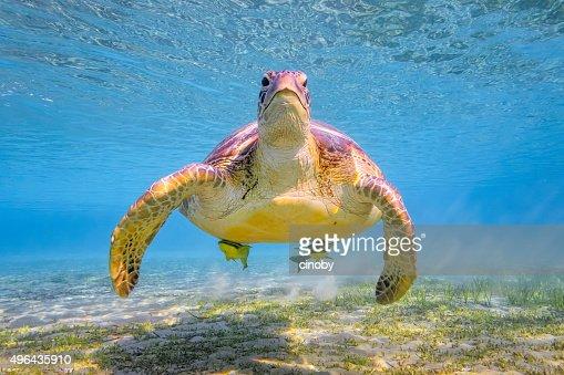 Green sea turtle on Red Sea - Marsa Alam - Egypt